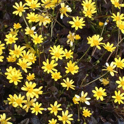 Ficaria verna 'Brazen Hussy' (Ranunculus ficaria)
