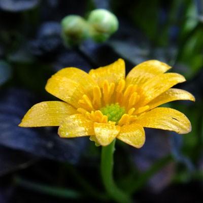 Ficaria verna 'Coppernob' (Ranunculus ficaria)