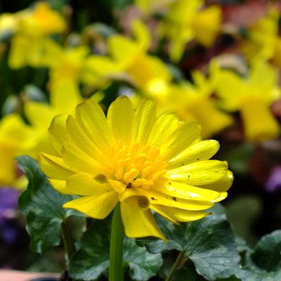 Ficaria verna 'Montacute' (Ranunculus ficaria)