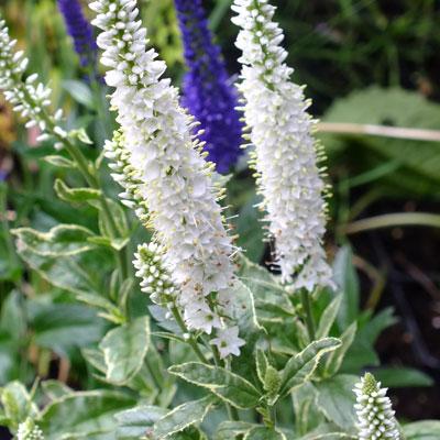 Veronica longifolia 'Charlotte'