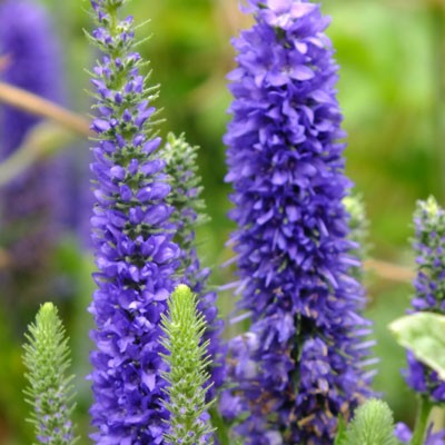 Veronica spicata 'Glory' ('Royal Candles', 'Ulster Dwarf Blue')