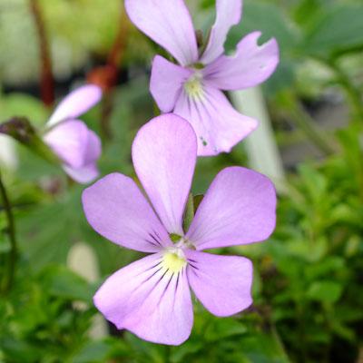 Viola-cornuta-Victorias-Blush-(1)