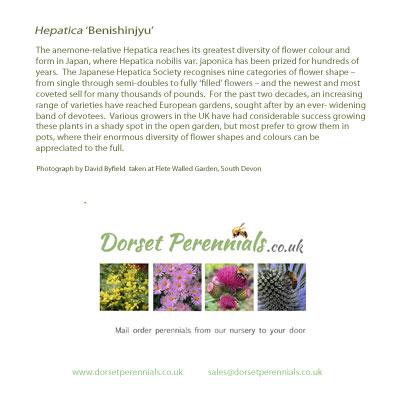 Hepatica 'Ensyu' card
