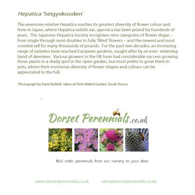 Hepatica 'Seigyokouden' card