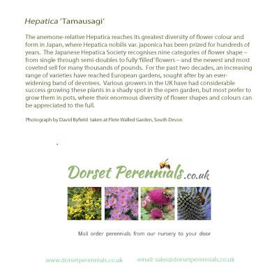 Gift card greetings card dorset perennials hepatica tamausagi card m4hsunfo