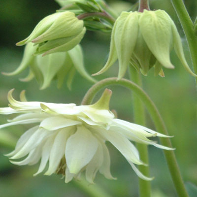 Aquilegia vulgaris var. stellata 'Greenapples' (Lemon Sorbet)