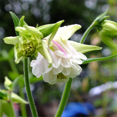 Aquilegia vulgaris var. stellata 'White Barlow' (Barlow Series)