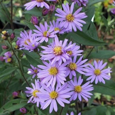 aster 'prairie purple' symphyotrichum 'prairie purple'  dorset, Beautiful flower