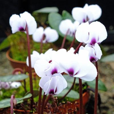 Cyclamen coum - white
