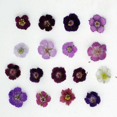 Geranium phaeum and monacense flowers