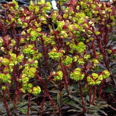 Euphorbia amygdaloides 'Purpurea'