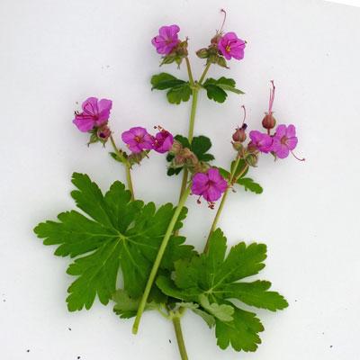 Geranium macrorrhizum 'Czakor'