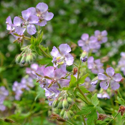 Geranium phaeum var. lividum 'Joan Baker'