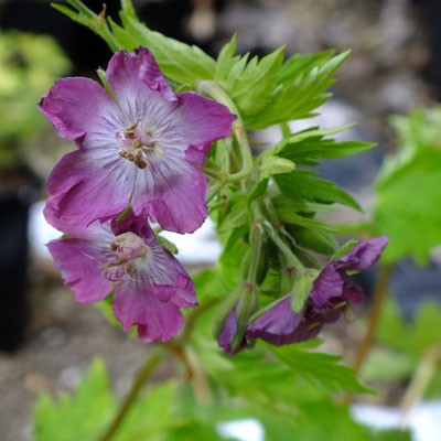 Geranium phaeum 'Mottisfont Rose'