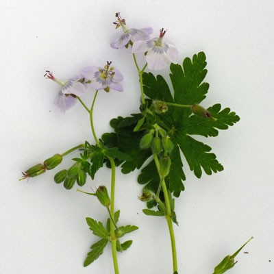 Geranium phaeum 'Waterer's Blue'