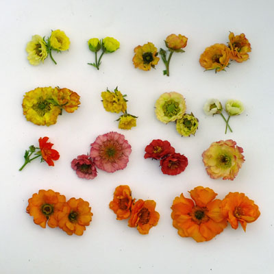 Geum flowers compared