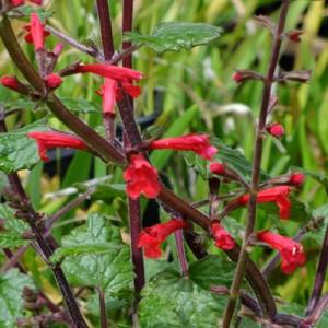 Salvia roemeriana 'Arriba'