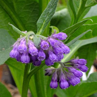 Symphytum uplandicum 'Moorland Heather'