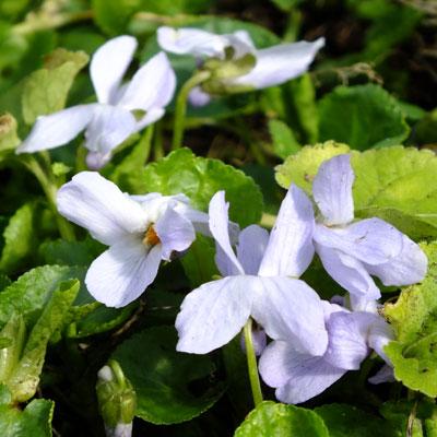 Viola 'Reine des Neiges' ( violet )