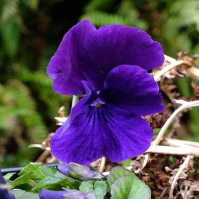 Viola cornuta 39 ulla 39 dorset perennials for Viola cornuta inverno