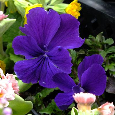 Viola cornuta 'Ulla'