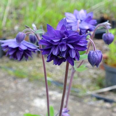Aquilegia vulgaris var. stellata 'Blue Barlow' (Barlow Series)