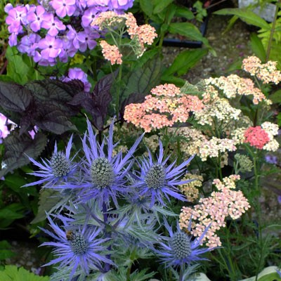 Eryngium x zabelii, Achillea 'Salmon Beauty', Ageratina 'Chocolate' and Phlox Violet Flame