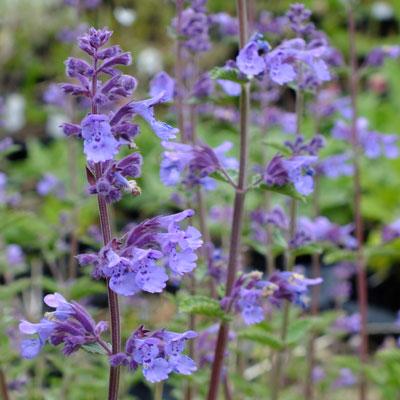 nepeta racemosa walker s low dorset perennials