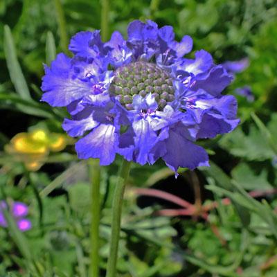 Scabiosa caucasica 'Fama Deep Blue'