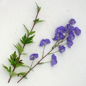 Aconitum carmichaelii 'Spatlese' (Wilsonii Group)
