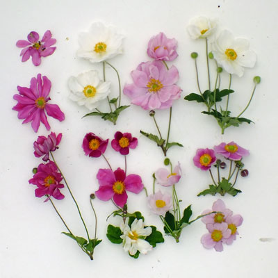 Anemone flowers compared