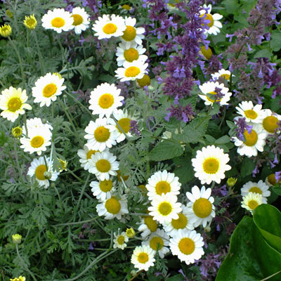 Anthemis 'Susanna Mitchell' with Nepeta 'Chettle Blue'