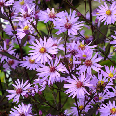 Aster 'Prairie Purple' (Symphyotrichum 'Prairie Purple')