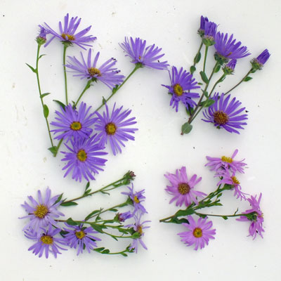 Aster amellus compared