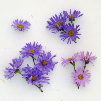 Aster amellus flowers compared