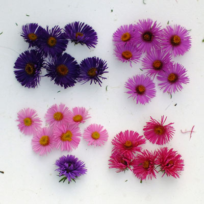 Aster novi-angliae flowers compared