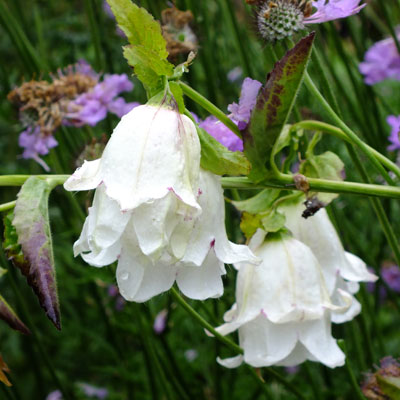 Campanula punctata 'Wedding Bells'