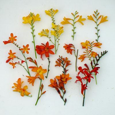 Crocosmia compared