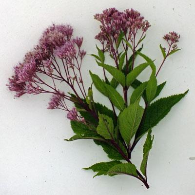 Eupatorium maculatum 'Purple Bush' ( Atropurpureum Group )
