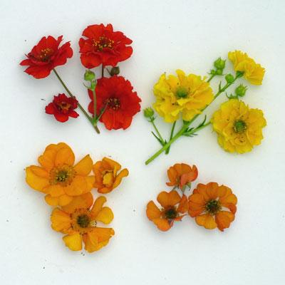 Geum chiloense type flowers compared