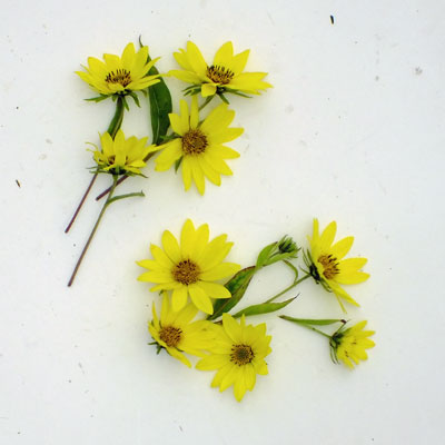 Helianthus compared