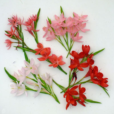 Hesperantha compared