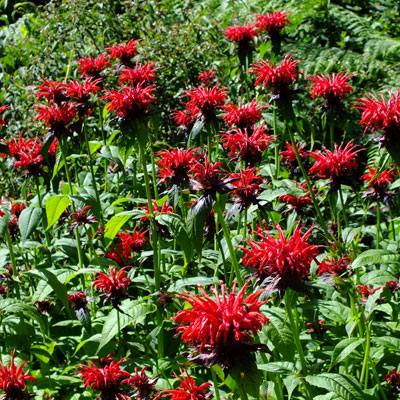 Monarda 'Jacob Cline'