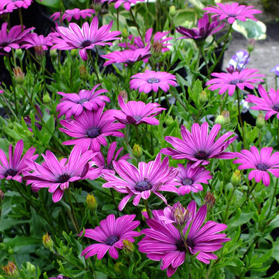 Osteospermum 'Nairobi Purple' ('Tresco Purple')