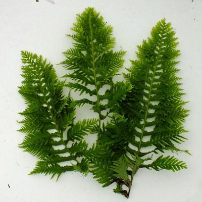 Polypodium cambricum 'Oakleyae' form 2