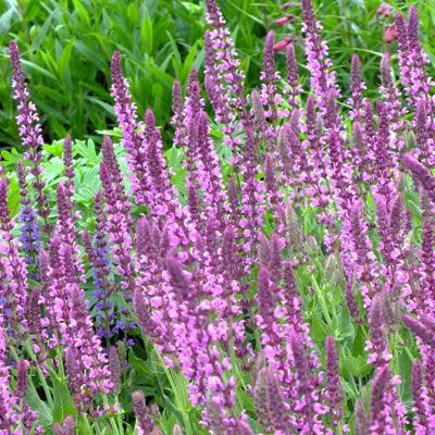 salvia nemorosa 39 pink friesland 39 dorset perennials. Black Bedroom Furniture Sets. Home Design Ideas