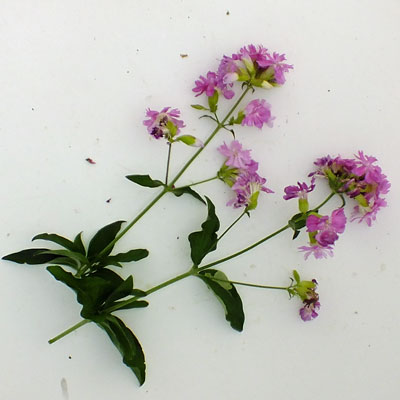 Saponaria officinalis 'Rubra Plena'