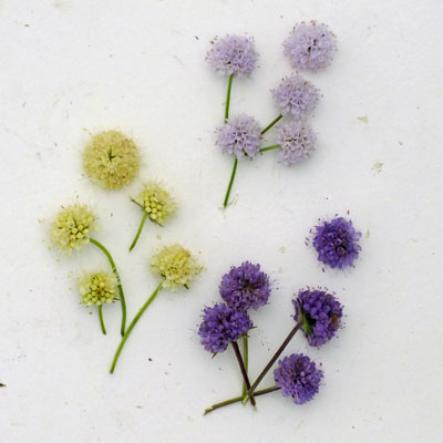 Succisa and Succisella flowers