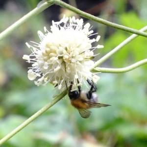 Succisa pratensis 'Buttermilk'