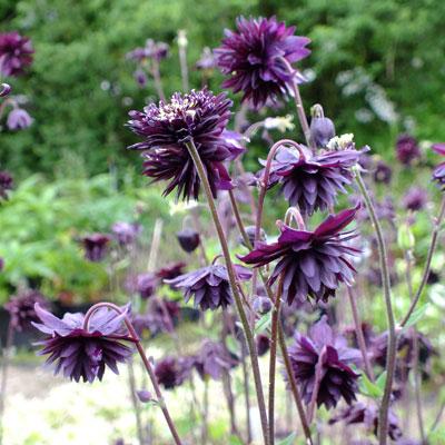 Aquilegia vulgaris var. stellata 'Black Barlow' (Barlow Series)